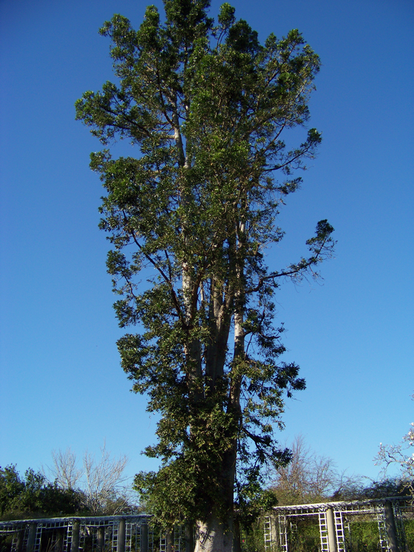 A very tall tree rises near vertically.